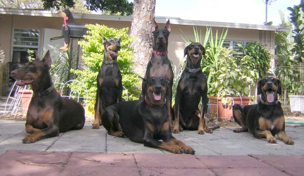 About Florida Dobermann Pinscher Rescue Ring